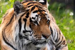 Siberian Tiger 22 (cypher40k Photography) Tags: 200500 amur amurtiger animal animals bigcat color colour nikon nikond500 siberian siberiantiger tiger toronto torontozoo wildlife zoo