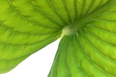 green slopes (HansHolt) Tags: detail macro lines canon leaf pattern dof structure 100mm blad vein rib hosta hmm lijnen 6d patternsinnature canonef100mmf28macrousm bladnerf macromondays canoneos6d hostagreenacres green