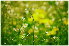 a summer song (***étoile filante***) Tags: summer sommer wiese meadow natur nature plants pflanzen poetic dreamy bokeh bokehlicious