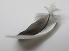 MM 15 July 2019: Hope is the thing with feathers (jefalump) Tags: patternsinnature macromondays feather monochrome macro cockatiel