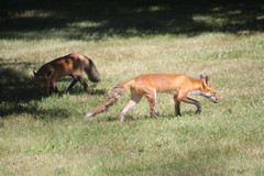 33/366/4050 (July 14, 2019) - Red Fox and her Cub in My Backyard (Saline, Michigan) - July 14th, 2019 (cseeman) Tags: redfox redfoxcub fox saline michigan animals wildlife mammals salinefox07142019 2019project365coreys yeartwelveproject365coreys project365 p365cs072019 356project2019