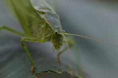 Katydid eating my plants (STLarson) Tags: macro katydid grasshopper plant insect insects bugs bug backyardphotography sigma105 nikon