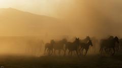kaçış (yasar metin) Tags: sürü life light çoban bozkır hayat bozkırda iç anadolu kırşehir şeker fabrikası günbatımı koyun sürüsü insan insanoğlu fotoğraf fotograf canon canon70d akşam üstü huzur