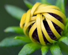Looped (helensaarinen) Tags: macro nature floral coil blackeyedsusan patternsinnature macromondays woundup spiral twisted