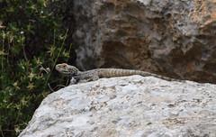 Roughtail Rock Agama (Stellagama stellio) (fuzzballmaster) Tags: roughtail rock agama stellagama stellio aladaglar milli parki turkey lizard