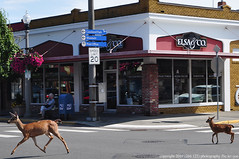 2019-07-14 Columbian Black-tailed Deer (01) (1024x680) (-jon) Tags: anacortes skagitcounty skagit washingtonstate commercialavenue town city street crossing sidewalk crosswalk salishsea fidalgoisland sanjuanislands pugetsound deer doe fawn columbianblacktaileddeer odocoileushemionuscolumbianus a266122photographyproduction