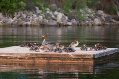 Mergansers! (lacygentlywaftingcurtains) Tags: ottylake water outdoor nature outside mergansers ducks birds wildlife raft babies ducklings cute sixteenholycrap puttheduckdown animals