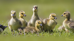 Canada Geese Goslings (Paula Darwinkel) Tags: canadagoose goose geese gosling goslins bird birds animals wildlife nature cute wildlifephotography