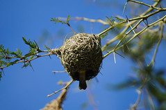 Southern Masked Weaver and Nest (The Jester) Tags: bird nest birdsnest weaver maskedweaver southafrica africa robertson