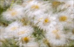 20190707. Wind. 2820.3 (Tiina Gill (busy)) Tags: estonia nature flower flora daisy outdoor wind windy windpainting