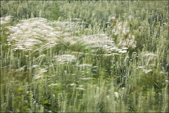 20190707. Wind. 2807 (Tiina Gill (busy)) Tags: estonia nature outdoor plant field flower flora daisy wind windy windpainting
