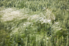 20190707. Wind. 2808 (Tiina Gill (busy)) Tags: estonia nature outdoor plant field flower flora daisy wind windy windpainting