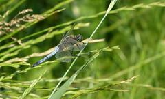 Dragonfly (joeke pieters) Tags: 1480478 panasonicdmcfz150 libel libelle dragonfly insect