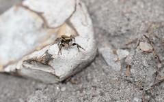 Evarcha falcata (male) (willjatkins) Tags: nature animal spider spiders wildlife arachnid arachnids jumpingspider europeanwildlife europeanspiders wildlifeofeurope spidersofeurope arachnidsofeurope macro closeup nikon britishwildlife heathland salticidae evarcha sigma105mm ukwildlife britishspiders closeupwildlife evarchafalcata dorsetwildlife macrowildlife ukspiders ukarachnids heathlandwildlife britisharachnids dorsetspiders nikond610