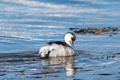 Silvery Grebe (Podiceps occipitalis) (Kremlken) Tags: podicepsoccipitalis laucanationalpark grebes waterfowl lakes andes andean bird birds birding birdwatching nature austral winter nikon500