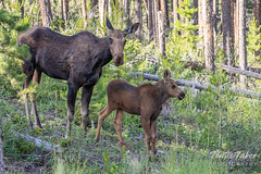 July 13, 2019 - A moose cow and calf. (Tony's Takes)