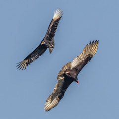 P2220043-Edit.jpg (Almyk) Tags: turkeyvulture vierawetlands grissomreserve vultures blackvulture florida