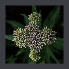 Wasserdost Blütenstand (blasjaz) Tags: blasjaz botanik blüten pflanze pflanzen macromondays blütenstand patternsinnature