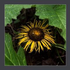 Patterns in Nature (blasjaz) Tags: blasjaz botanik blüten pflanze pflanzen