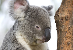 Koala Portrait (San Diego Shooter) Tags: koala koalas sandiego sandiegozoo zoo animal animals portrait