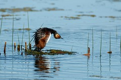 Dont Mess with Me (Beve Brown-Clark) Tags: grebe hornedgrebe felmalegrebe femalehornedgrebe nest nesting spring springtime montana nature wildlife avain waterfowl usa