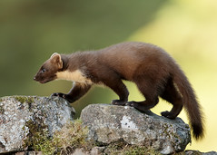 Pine Marten Martes martes (Iain Leach) Tags: birdphotography wildlifephotography photograph image wildlife nature iainhleach wwwiainleachphotographycom canon canoncameras photography canon1dxmk2 canon5dmk4 beauty beautiful beautyinnature macro macrophotography closeup pinemartenmartesmartes dumfriesgalloway gallowayforestpark