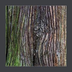 Patterns in Nature (blasjaz) Tags: blasjaz botanik pflanze pflanzen rinde