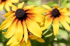 YELLOW FRAGILITY (hoffler_pictorials) Tags: sigma flowers pretty sony a6400 f14 gentle garden
