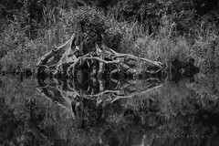 Reflection at the Edge (Dirtman's Images) Tags: nationalwildliferefuge calm serene cloudy water ef24105mmf4l blackwater canon clouds noiretblanc virginia immense sky bw blackandwhite marine watershed eos6dmarkii glassy usa waterway impactcrater washingtonditch backcountry nature tannic ettr reflection mirror greatdismalswampnwr usfishandwildlife humid hot dismal hamptonroads summer wilderness dirtmansimages stark chesapeake paddle scenic railroadditch lakedrummond trees swamp lake lightroom canoe