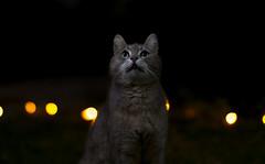 Samyang 85mm f1.4 (roland947) Tags: cat samyang sony alpha6000