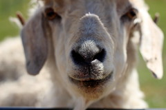Please Skritch Here (Kpakr) Tags: dominos farms petting zoo animals goat fuzzy nose annarbor