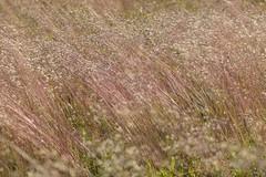 HeathenGrass (Tony Tooth) Tags: nikon d600 nikkor 105mm grass breeze heath moors moorland caseybank ipstones staffs staffordshire lines wavyhairgrass deschampsiaflexuosa