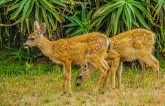 Black-tail Fawns--DSC09504--Pacific Grove, CA (Lance & Cromwell back from a Road Trip) Tags: blacktaildeerpg blacktail deer wildlife pacificgrove montereycounty montereypeninsula california sony sonyalpha 24240mm 24240mmlens emount a7ii