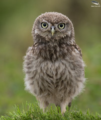 Litle Owl Owlet (Mick Erwin) Tags: litle owl owlet nikon afs 600mm f4e fl ed vr lens d850 mick erwin wildlife bird