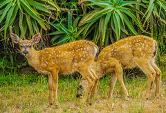 Black-tail Fawns--DSC09498--Pacific Grove, CA (Lance & Cromwell back from a Road Trip) Tags: blacktaildeerpg blacktail deer wildlife pacificgrove montereycounty montereypeninsula california sony sonyalpha 24240mm 24240mmlens emount a7ii