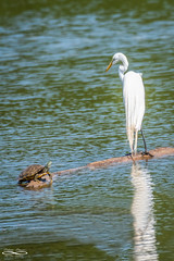Sharing.jpg (outlaw.photography) Tags: naturejuly2019 july2019 summer chrisdaugherty outlawphotography infinityimages brazospark nature water egret turtle waterfowl nikon200500mm wacotx photography light