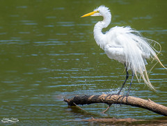 Cooling Off.jpg (outlaw.photography) Tags: naturejuly2019 july2019 summer chrisdaugherty outlawphotography light brazospark nature water egret wacotx waterfowl nikon200500mm infinityimages photography wacotexas