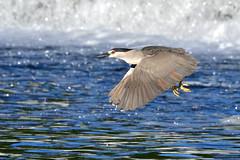Black-Crowned Night Heron (Photos By JM) Tags: humberriver herons birds nature