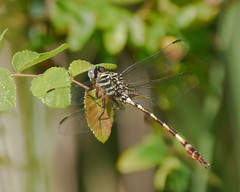 Broad-striped Forceptail - 2 (Mikael Behrens) Tags: mikaelbehrens austin wildlife texas insect dragonfly neighborhood unitedstatesofamerica