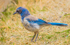California Scrub Jay--DSC0363--Pacific Grove, CA (Lance & Cromwell back from a Road Trip) Tags: bluejaypg bluejay birds pacificgrove montereycounty montereypeninsula california sony sonyalpha a57 tamron 150600mm g2 tamron150600mmg2