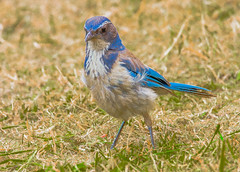 California Scrub Jay--DSC0361 (Lance & Cromwell back from a Road Trip) Tags: bluejaypg bluejay birds pacificgrove montereycounty montereypeninsula california sony sonyalpha a57 tamron 150600mm g2 tamron150600mmg2