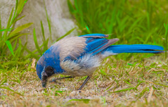 California Scrub Jay--DSC0358--Pacific Grove, CA (Lance & Cromwell back from a Road Trip) Tags: bluejaypg bluejay birds pacificgrove montereycounty montereypeninsula california sony sonyalpha a57 tamron 150600mm g2 tamron150600mmg2