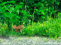 YoungFox (shensicle) Tags: nature green fox lanark woods forest animal wild young