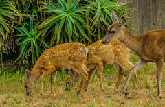 Black-tail Fawns--DSC09493--Pacific Grove, CA (Lance & Cromwell back from a Road Trip) Tags: blacktaildeerpg blacktail deer wildlife pacificgrove montereycounty montereypeninsula california sony sonyalpha 24240mm 24240mmlens emount a7ii