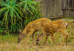 Black-tail Fawns--DSC09490--Pacific Grove, CA (Lance & Cromwell back from a Road Trip) Tags: blacktaildeerpg blacktail deer wildlife pacificgrove montereycounty montereypeninsula california sony sonyalpha 24240mm 24240mmlens emount a7ii
