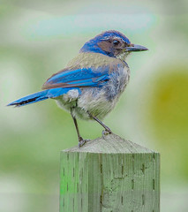 California Scrub Jay--DSC0354--Pacific Grove, CA (Lance & Cromwell back from a Road Trip) Tags: bluejaypg bluejay birds pacificgrove montereycounty montereypeninsula california sony sonyalpha a57 tamron 150600mm g2 tamron150600mmg2