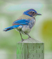 California Scrub Jay--DSC0353--Pacific Grove, CA (Lance & Cromwell back from a Road Trip) Tags: bluejaypg bluejay birds pacificgrove montereycounty montereypeninsula california sony sonyalpha a57 tamron 150600mm g2 tamron150600mmg2