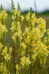 Löwenmaul (KaAuenwasser) Tags: echtesleinkraut löwenmaul blüten blüte wild pflanze blume sommer 2019 gelb farbe nah feld wiese natur