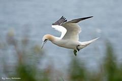 """Gannet in Flight (annjbee """"Birdie Lover"""") Tags: gannets seabirds rspb nature wildlife bempton birdsinflight soe"""