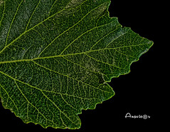 15_Pattern in Nature_MM (Anavicor) Tags: hoja planta feuille leaf patterninnature macromondays lunes lunedi lundi monday montag nerves macro green verde texture pattern nikon d5300 anavillar anavicor villarcorreroana